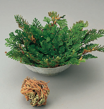 Resurrection Plant™ - View 2
