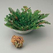 Outdoor - Resurrection Plant™
