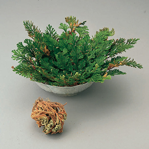 Resurrection Plant™